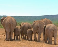 A group of elephant leave a waterhole in the Addo Elephant National Park in the Eastern Cape - South Africa.