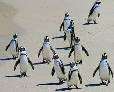 African Penguins at Betty's Bay, not far from Cape Town.