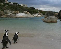 Penguins at Boulders Beach (Foxy section) in Simon's Town near Cape Town.