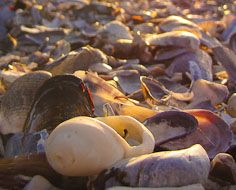A bed of sea shells within the Cape Columbine Reserve near Paternoster on South Africa's West Coast.