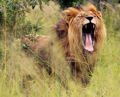 A male lion yawns in the African bush at Hlane Royal National Park in Swaziland.