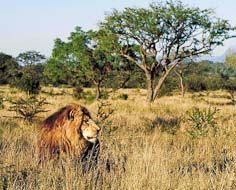 A male lion wanders through Lowveld bushveld at the Kapama Private Game Reserve in Limpopo - South Africa.