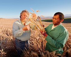 Farmer Neels Neethling (left) and employee Tol Kaptein inspecting the wheat crop on his farm near Malmesbury, South Africa.