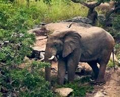 An elephant in the typical rocky terrain of the Mthethomusha Private Game Reserve near Malelane.