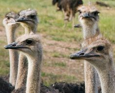 Ostriches on a farm near Oudtshoorn in South Africa.