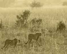 Pair of cheetah in Pilanesberg