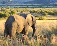 A lone elephant in Pilanesberg Game Reserve. The Reserve is located near to Sun City in South Africa.