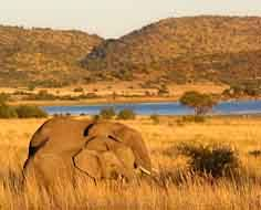 Three elephants grazing near Mankwe Dam in Pilanesberg Game Reserve. The Reserve is located near Sun City in South Africa's North-West Province.