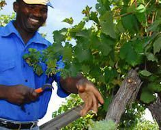Employees harvest grapes in the Rooiberg Winery vineyards between Robertson and Worcester on the R62.