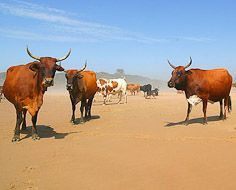 It's not unusual to encounter a herd of cattle on the beach when hiking on the Wild Coast.