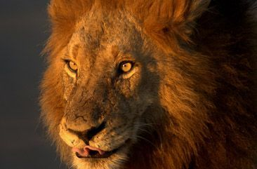Male Lion in Kruger