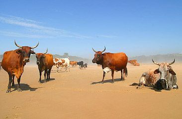 Wild Coast cattle on the beach