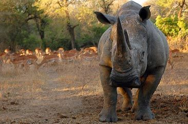 White Rhino in Kruger