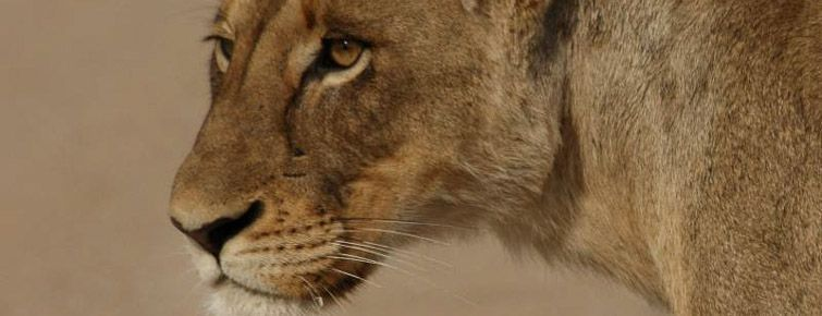 Lioness in the Kruger